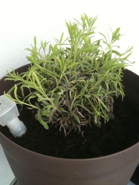 herbes aromatiques la famille kangourou en chine. Black Bedroom Furniture Sets. Home Design Ideas