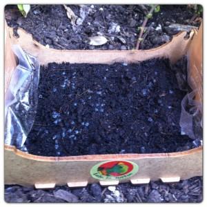 Des graines de basilic plantée par Little Miss Sunshine avec l'aide de Papa Lou