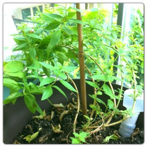 Un plant de verveine vient compléter nos herbes aromatiques