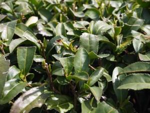Les théiers bourgeonnent