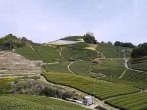 Les théiers de la vallée de la Wasuka