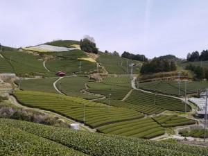 Les théiers de la vallée de la Wasuka2