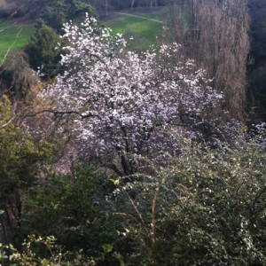 Premier cerisier en fleurs